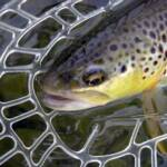 Handle the trout gently to insure their survival after release.